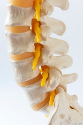Close-up view of human lumbar spine model on white background