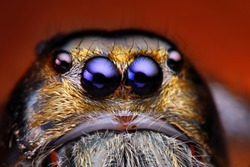 Close up view of Hyllus Diardy jumping spider (biggest jumping spider in the world)