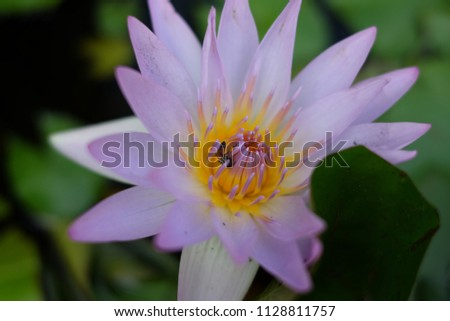 Free photos purple lotus flower on water avopix close up view of insect is eating nectar from the purple lotus flower mightylinksfo