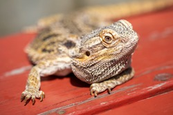 Close-up view of lizard pet sunbathing on a red wooden bench.