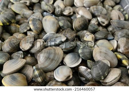 close up view of manila clam Stockfoto ©