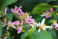 Close up view of meyer lemon tree flowers blossoming
