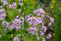 Close up view of pinc and lilac flowerheads of blooming oregano, origanum vulgare. Selected focus, blurred background.