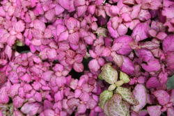 Close up view of pink plant leaves having fun. shade of red plant. Scandinavian decor. shrub with elliptical or elliptical ovoid leaves with finely serrated