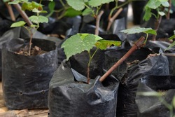 close up view of planting of grapes using polybags in the garden