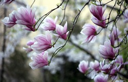 Close-up view of purple blooming magnolia.