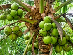 Close-up view of ripe green coconuts growing in clusters at the top of a palm tree (Cocos nucifera) in the Philippines.