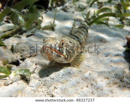 Close up view of Sand diver fish Synodus intermedius, Caribbean sea, Costa Rica