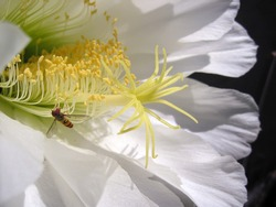 Close-up view of stigma with anther and stamen of a white cactus flower, Echinopsis spachiana