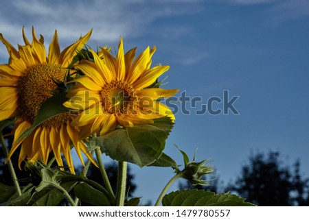 Close-up view of sunflower against blue sky. Homegrown food.