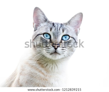Close up view of tabby Bengal Snow cute cat with blue eyes. Pets and lifestyle concept. Lovely cat on white background
