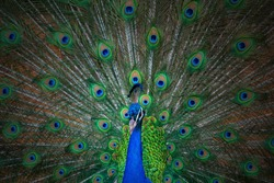 Close up view of The African peacock  a large and brightly coloured bird. Portrait of beautiful peacock with feathers out.