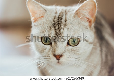 Close-up view of the beautiful scottish cat. Scottish straigth breed - cat colored with the silver marble color.