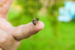 Close up view of the Bee stinging in the human finger of the hand. Some people develop acute allergic reactions to bee stings.