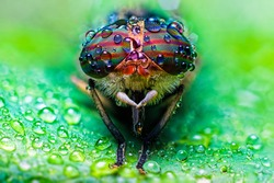 Close up view of the eyes a Tabanus abdominalis horsefly with ra