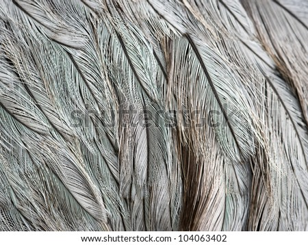 Close-up view of the feathers of an ostrich