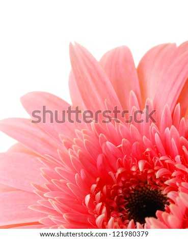 close up view of the pink daisy