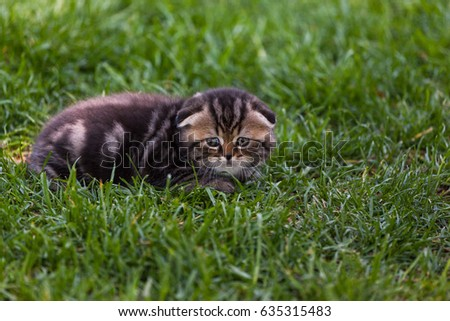 Close-up view of the purebred Scottish Fold kitten in the green meadow #635315483