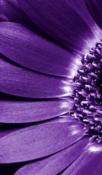 close up view of the purple daisy