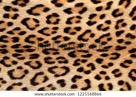 Close-up view of the skin of a leopard (Panthera pardus) #1225568866