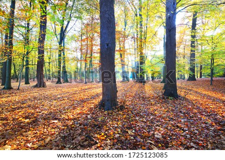 Close-up view of the tall ancient golden beech trees in the Nachtegalen park. Sun rays through the tree trunks, shadows on the ground. Forest floor of red, orange and yellow leaves. Antwerp, Belgium