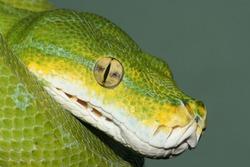 Close up view of the thermosensory pits of the Green Tree Python (Morelia Viridis)