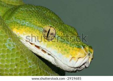 Close up view of the thermosensory pits of the Green Tree Python (Morelia Viridis)