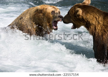 Close up view of two bears fighting in a stream