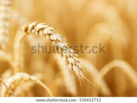 Close up view of wheat ears on the field