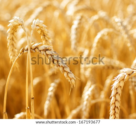 Close up view of wheat ears on the field #167193677