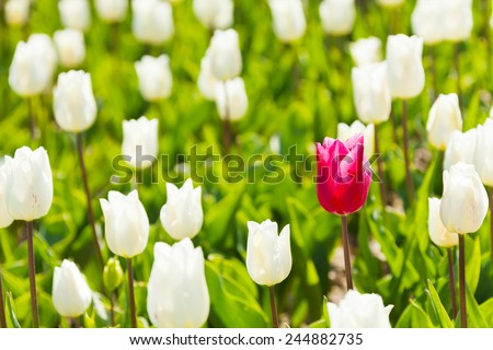 Close-up view of white and one red tulip in summer