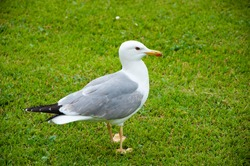 Close up view of white bird seagull on green grass. gull walk in italy park. beautiful and funny seagull on green grass. Summer, a small gull standing.