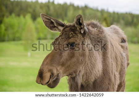 Close up view of wild animal Moose elk in an elk farm during the elk farm visit in northern Europe in a sunny day with background