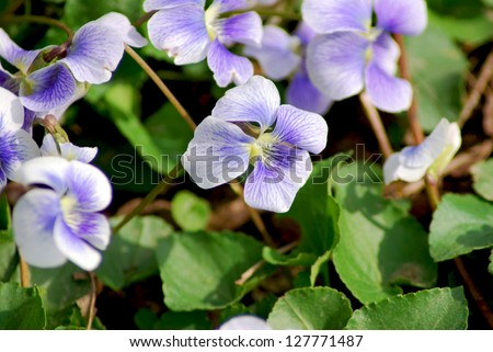Close-up view of wild violets blooming in the spring.