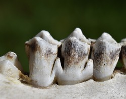 Close up view of young elk teeth in a skeletal jawbone. Wear patterns on molar teeth visible.