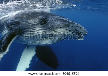 CLOSE-UP VIEW OF YOUNG HUMPBACK WHALE HEAD