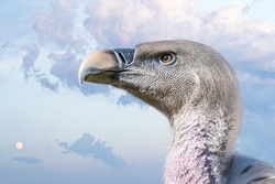 Close up view on head of vulture bird. Sky in background.
