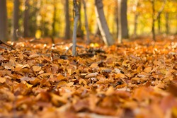 Close up view on the ground covered with fallen golden oak leaves