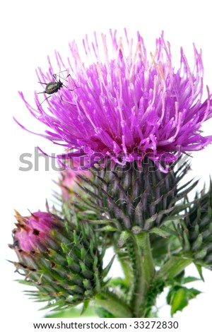 Close-up view to blooming burdock (Arctium lappa) with small bug on white background. Not isolated, studio shot