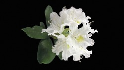 Close-up view to blooming white rhododendron (Cunningham's White rhododendron) with black background