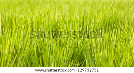 Close up view to green grass on the rice field