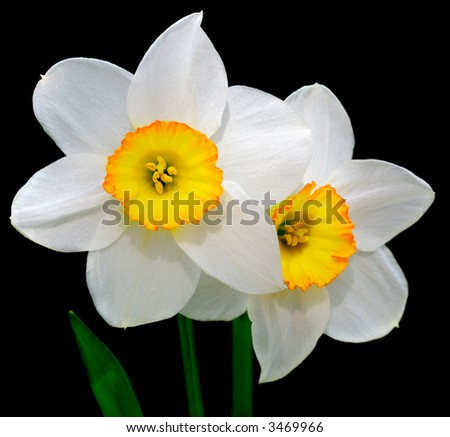 Close-up view to the narcissus on black background