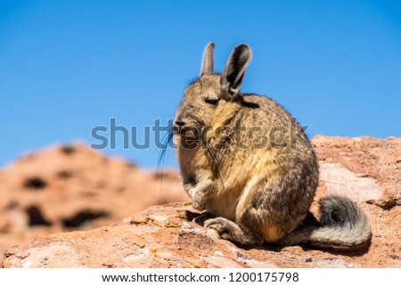 Close up vizcacha pic in teh altiplano in Bolivia. The Andes Range. Rocks and blue sky