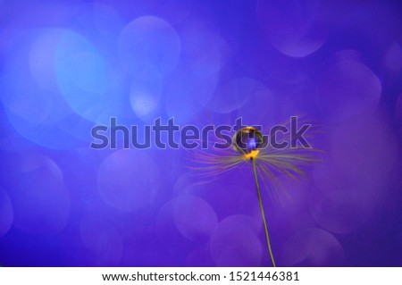 Close up water drop on dandelions seed on blue bokeh background. An artistic picture of dandelion flower.