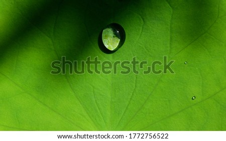 close up water drop on green lotus leaf texture