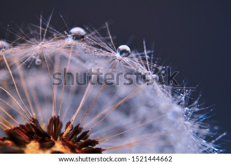 Close up water drops on dandelions seeds on dark blue background. An artistic picture of dandelion flower.