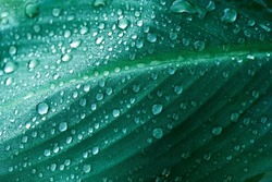 close up water of rain drop on dark green leave garden forest nature textured background
