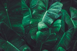Close up wet arrowhead plant or syngonium podophyllum leaves in rainforest garden. Texture details of tropical green foliage with water drop. Macro abstract beautiful dark tone natural background.