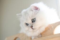 close up white British Longhair Cat fucus at cat eyes.
