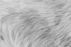 Close up white dog hair texture background.
